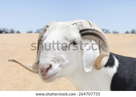 Sahelian Ram with a black and white coat - stock photo