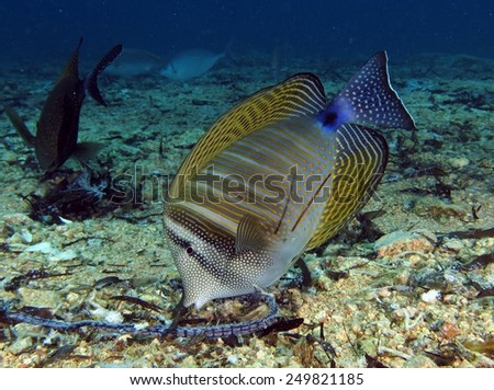Sailfin tang (surgeonfish) feeding on dead seagrass - stock photo