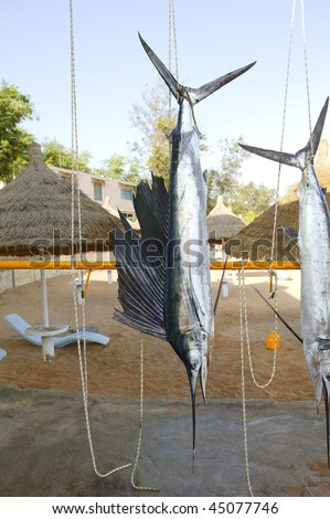 Sailfish catch hanging from marlin fishing tourney trophy - stock photo
