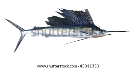 Sailfish real fish isolated on white marlin billfish - stock photo