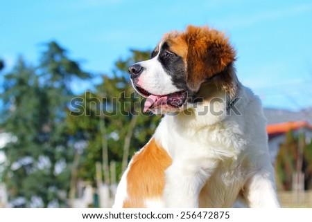 Saint Bernard dog. - stock photo