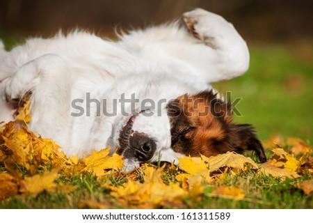 Saint bernard dog in autumn - stock photo
