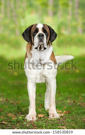 Saint bernard dog in the park - stock photo