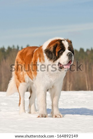 Saint bernard dog in winter - stock photo