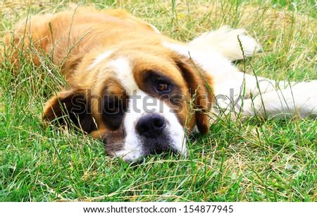 Saint Bernard dog looking at the camera - stock photo