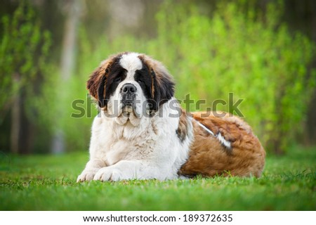 Saint bernard dog lying on the lawn - stock photo