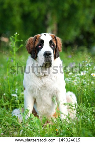Saint bernard dog sitting in the grass - stock photo
