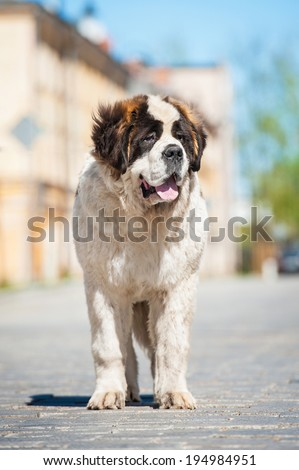 Saint bernard dog standing on the street - stock photo