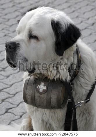Saint Bernard dog with barrel of brandy - stock photo