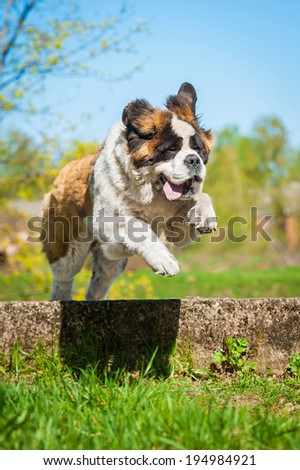 Saint bernard dog with funny face  jumping over the hurdle - stock photo