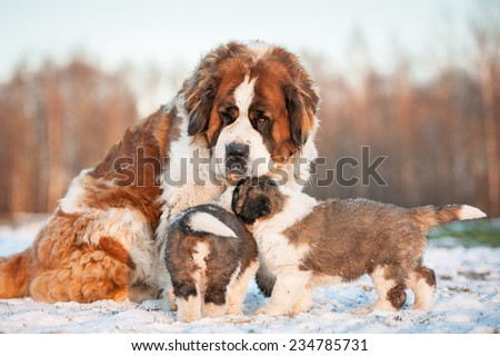 Saint bernard dog with puppies in winter - stock photo