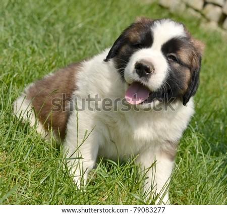 Saint Bernard Puppy - stock photo