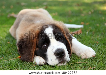 Saint Bernard Puppy Dog Outdoors in the Grass - stock photo