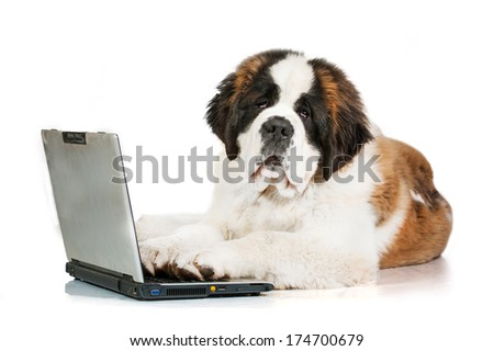 Saint bernard puppy in front of a laptop isolated on white background  - stock photo