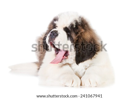 Saint bernard puppy lying isolated on white background - stock photo