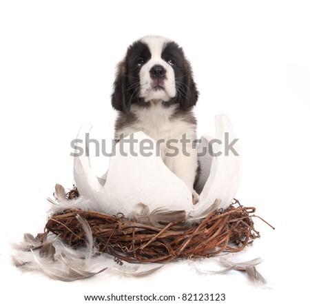 Saint Bernard Puppy on White Background Sitting in a Cracked Egg Nest - stock photo