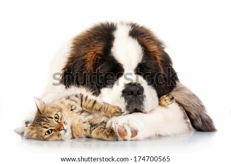 Saint bernard puppy sleeping with tabby cat isolated on white background  - stock photo