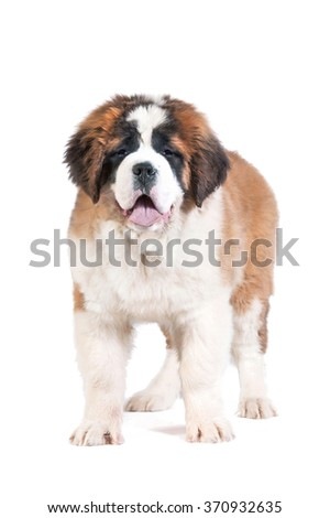Saint bernard puppy standing on white