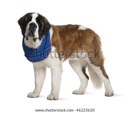 Saint Bernard standing in front of white background, studio shot - stock photo
