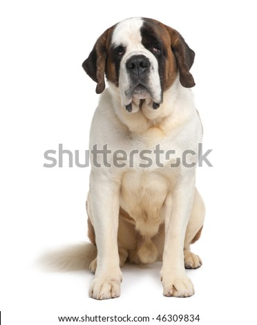 Saint Bernard, 4 years old, sitting in front of white background - stock photo