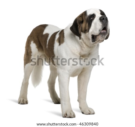 Saint Bernard, 4 years old, standing in front of white background - stock photo