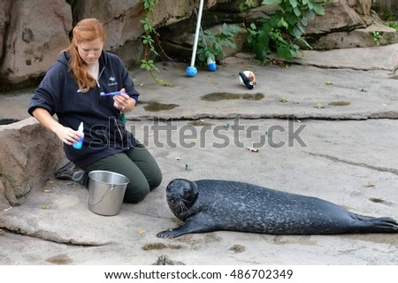 SAINT PAUL, MN - SEPTEMBER 16, 2016: The Zookeeper working with a sea lion at the Como Zoo and Conservatory.