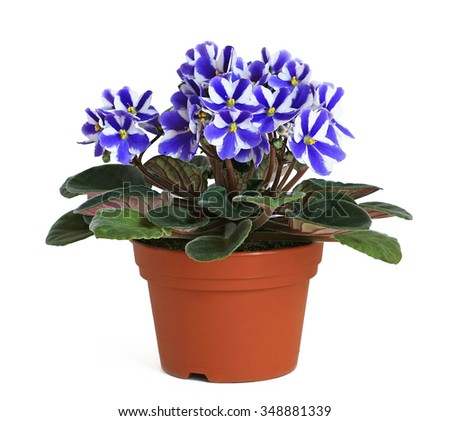 Saintpaulia, African Violets - Chimera in a pot on white background