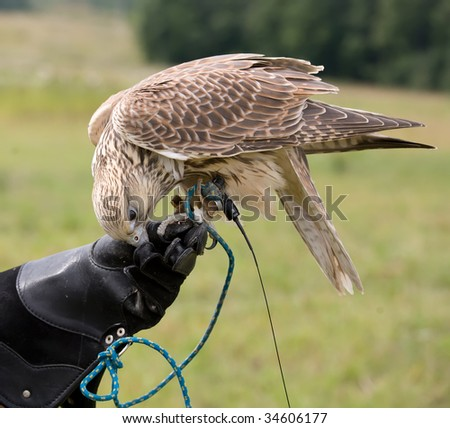 Saker falcon being fed - stock photo