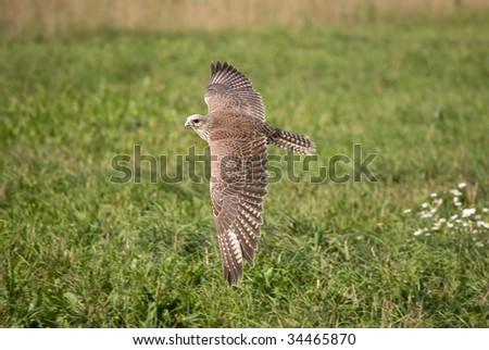 Saker falcon flying over meadow - stock photo
