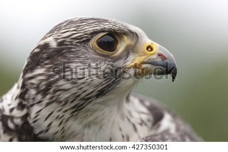 Saker falcon hybrid cross between a saker and a peregrine falcon