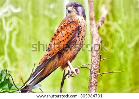 Saker falcon in his  natural habitat. - stock photo
