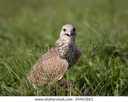 Saker falcon in the grass - stock photo