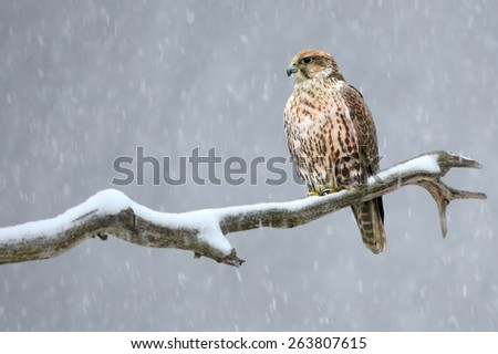 Saker falcon on the branch - stock photo