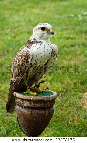 Saker is sitting - stock photo