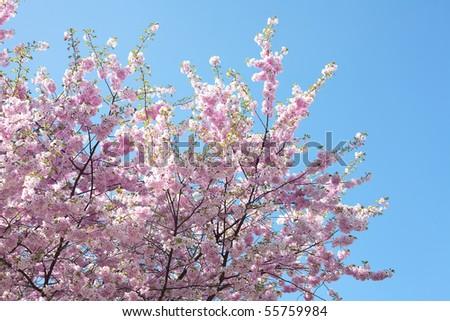 sakura against the blue sky - stock photo