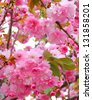 sakura, beautiful cherry blossom in springtime - stock photo