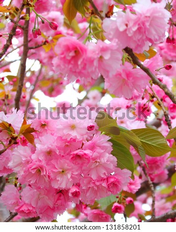 sakura, beautiful cherry blossom in springtime - stock photo