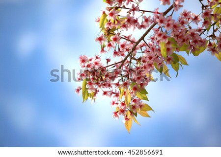 sakura blooming in winter time with blue sky background soft flare filter