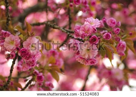 Sakura blooming tree in spring. Shallow DOF - stock photo