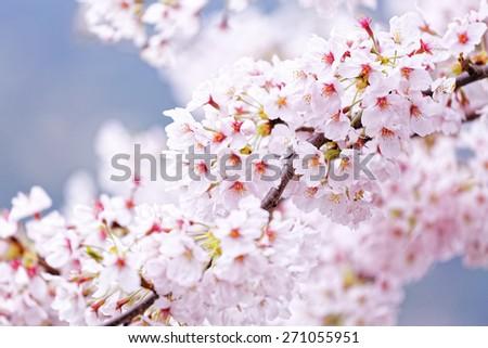 Sakura blossom flower close up for background - stock photo