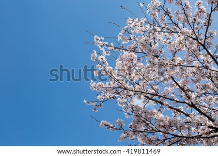 sakura blue sky background - stock photo