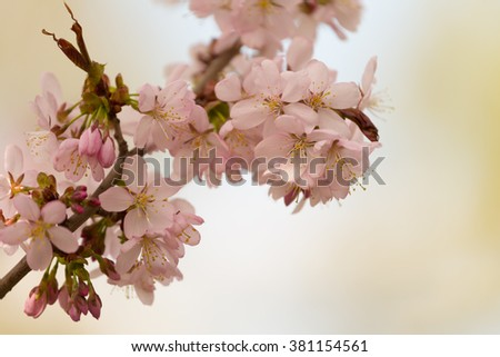 Sakura branch with pink flowers on blurred background - stock photo