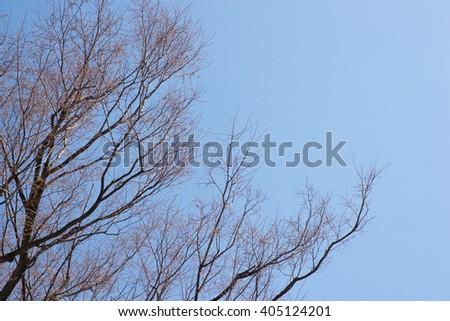Sakura bud before blooming in blue sky  - stock photo