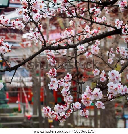 Sakura Cherry Blossom - stock photo
