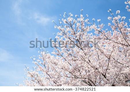 sakura , cherry blossom in full bloom - stock photo