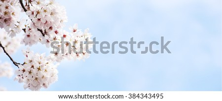 sakura , cherry blossom in full bloom - stock photo
