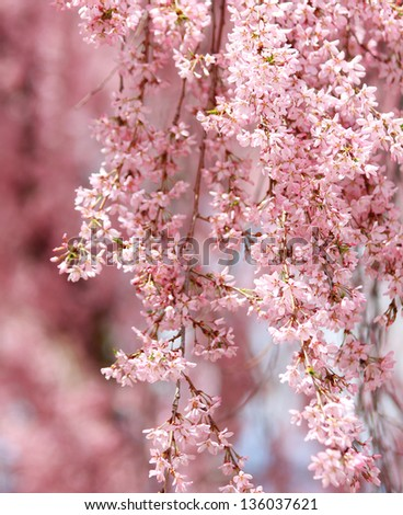 sakura. cherry blossom in springtime, beautiful pink flowers - stock photo