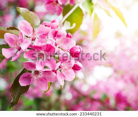 sakura. cherry blossom in springtime, beautiful pink flowers - stock photo