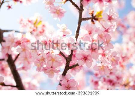 Sakura. Cherry Blossom in Springtime. Beautiful Pink Flowers - Soft focus - stock photo