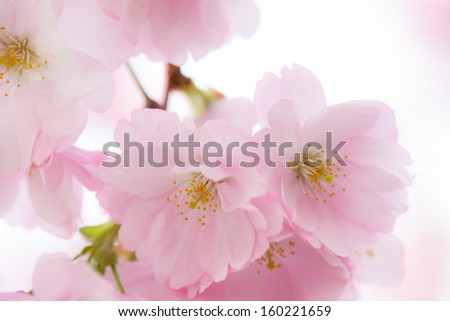 sakura cherry flower in full blossom in the spring - stock photo